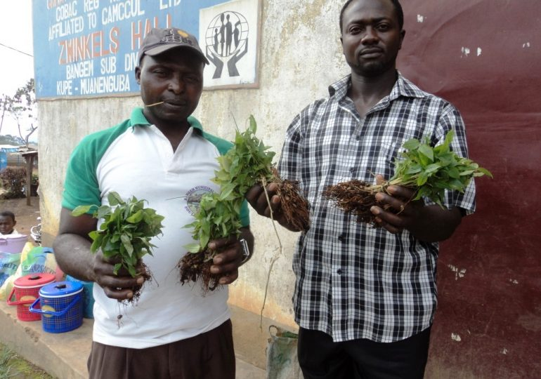 Bangem Communities Pick Prunus Domestication Skills