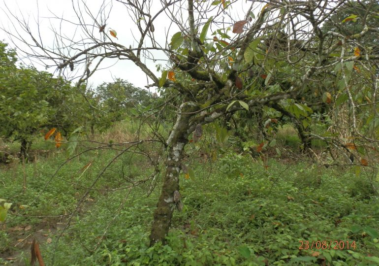 Cocoa Farmer Loses 13 Hectares To CDC-made Floods