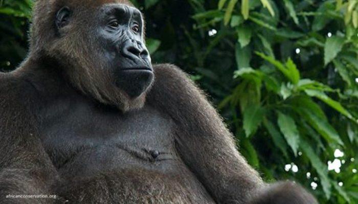 Endangered Wildlife Of Lebialem Losing Forest Homes