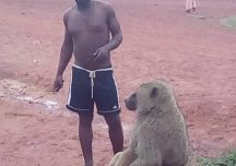 Male Olive Baboon finds home in the Deng Deng Community