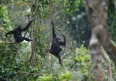 As Cameroon government backtracks on logging concession of Ebo Forest: what next?