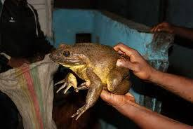 Cameroon's World's Biggest Frog Near Extinction