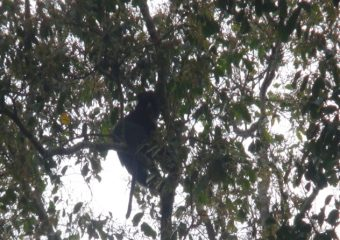 Primate Species greatly threatened in the Deng Deng National Park-Belabo Council Forest