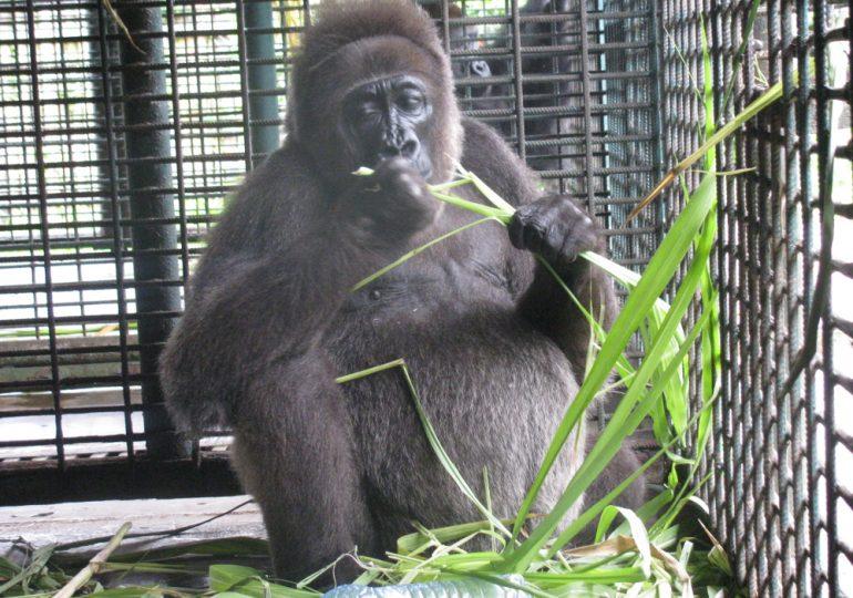 Nyango, World's Only Cross River Gorilla In Captivity