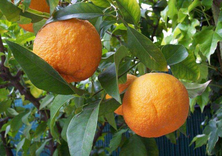 Restive Anglophone Crisis Plunges Bush Mango Sales