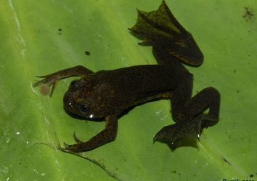 Lake Oku: Home to the endemic clawed frog (Xenopus longipes)