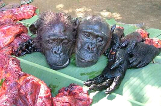 Cameroons Great Apes increasingly poached into extinction