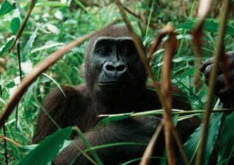 Importance of Cross River Gorillas as part of the Ecosystem of the Tropical Rainforests