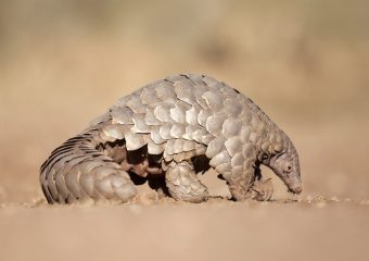 400,000 African pangolins are hunted for meat every year – why it's time to act