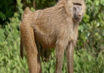 Primates of the Kimbi-Fungom National Park Threatened!