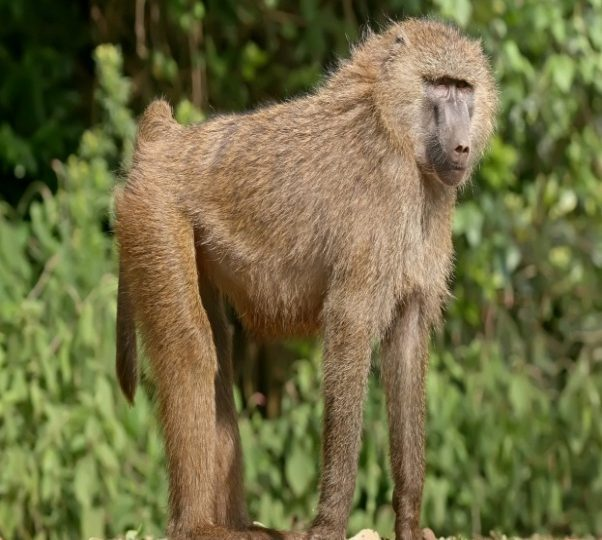 Primates of the Kimbi-Fungom National Park Threatened!